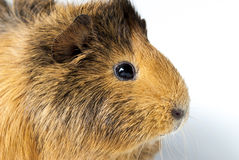 Close up of guinea pig Stock Photography