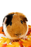 Close up of a guinea pig surrounded by fall leafs Stock Image