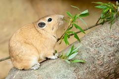 Close up of a gundi. Gundis are unusual rodents from north africa Stock Photo