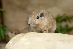 Close up of a gundi Royalty Free Stock Photo