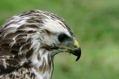 Close-up of a Gyr-Saker falcon Stock Photography