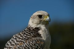 Close-up of gyrfalcon against trees and sky Royalty Free Stock Images
