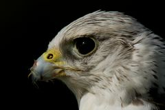 Close-up of gyrfalcon head against black background Royalty Free Stock Photo