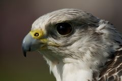 Close-up of gyrfalcon head against blurred background Stock Image