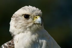 Close-up of gyrfalcon head against dark background Royalty Free Stock Image