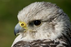 Close-up of gyrfalcon head against green background Stock Photos