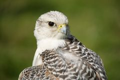 Close-up of gyrfalcon with head turned back Royalty Free Stock Photos