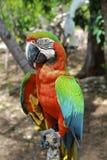 Close-Up híbrido irritado do Macaw imagem de stock
