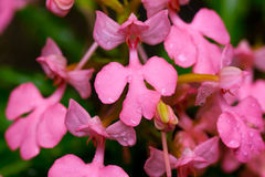Close up of Habenaria rhodochela flowers Stock Images