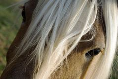 Close up of Haflinger (horse). This horse is a beautiful Haflinger. A smart, people-loving breed royalty free stock photo