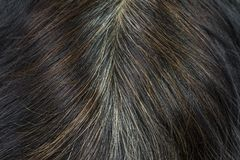 Close-up of the hair that starts to gray hair and brown hair fro. M chemical stock images