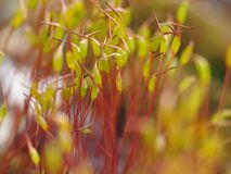 Close up of haircap moss. In sunshine Royalty Free Stock Images