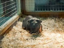 Close-up hairless guinea pig in a cage with hay. Close-up hairless guinea a pig in a cage with hay royalty free stock photo