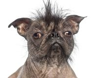 Close-up of a Hairless Mixed-breed dog, mix between a French bul. Ldog and a Chinese crested dog, in front of white background Stock Images