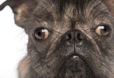 Close-up of a Hairless Mixed-breed dog, mix between a French bulldog and a Chinese crested dog, looking at the camera Royalty Free Stock Photo