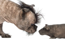 Close-up of a Hairless Mixed-breed dog, mix between a French bulldog and a Chinese crested dog, sniffing a hairless guinea pig. In front of white background Stock Images