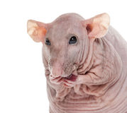 Close-up of a Hairlesss rat cleaning itself Stock Images