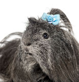Close-up of a hairy Guinea pig Royalty Free Stock Image