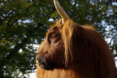 Close up of a hairy Highland cattle Royalty Free Stock Photography