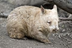 Hairy nosed wombat Stock Image