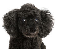 Close-up of half blind Poodle Stock Photo