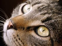 Close-up of half-breed cat face Royalty Free Stock Photography