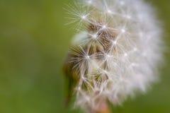 Close up of half dendelion seeds blown away. Taraxacum seeds isolated.  stock photography