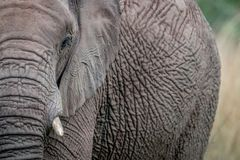 A close up of half an Elephant royalty free stock photography