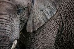 A close up of half an Elephant stock photography