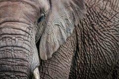 A close up of half an Elephant royalty free stock photos