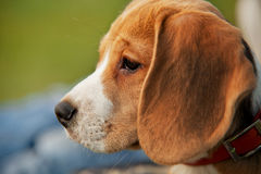 Close up half-face beagle portrait Royalty Free Stock Image