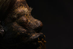 Close up of half face of a shrunked human head from ecuador over a dark background Stock Photography