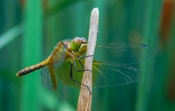 Close up of Halloween Pennant Celithemis eponina stock images