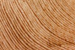 Close-up halve cirkel van jaarringen van lariks Royalty-vrije Stock Afbeeldingen