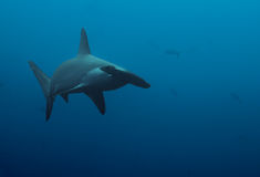 Close up of hammerhead shark in the deep blue Stock Image