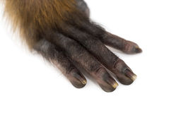 Close-up on the hand of a baby Francois Langur (1 month) Royalty Free Stock Images