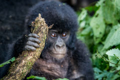 Close up of the hand of a baby Mountain gorilla. stock images