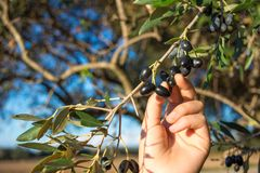 Close Up Of An Hand Collecting Olives From An Olive Tree Branch Stock Image