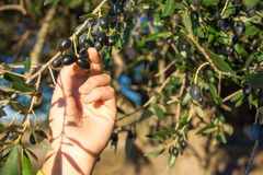 Close Up Of An Hand Collecting Olives From An Olive Tree Branch Stock Images