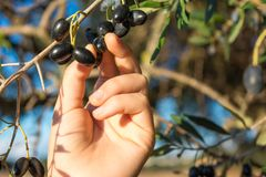 Close Up Of An Hand Collecting Olives From An Olive Tree Branch Royalty Free Stock Photography