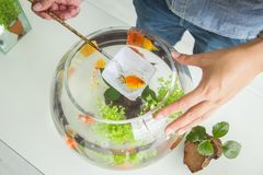 Close up of hand are decorating a goldfish royalty free stock photo