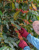 Close Up hand of farmers picking branch of arabica coffee berries. Red Royalty Free Stock Image