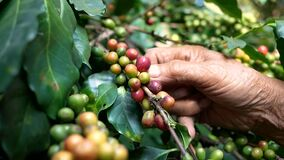 Close up hand of farmers picking ripe arabica coffee berries in coffee farm at Khun-wang village in Thailand. stock footage