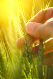 Close up hand holding ear of green wheat Stock Photo