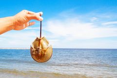 Close up hand holding horseshoe crab. Sea and blue sky in background Royalty Free Stock Image
