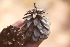 Close up of hand holding a pine cone with a natural blurred background. Tropical plant concept Royalty Free Stock Photography