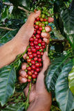 Close up hand keep coffee beans Stock Photo