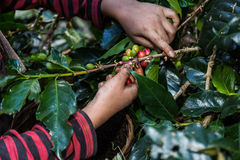 Close up hand keep coffee beans for harvesting. Stock Photography