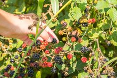 Close Up of an Hand Making a Blackberries Collection in Itay in royalty free stock photography