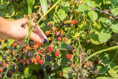 Close Up of an Hand Making a Blackberries Collection in Itay in stock image